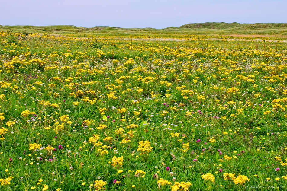 Blumenwiese Machair