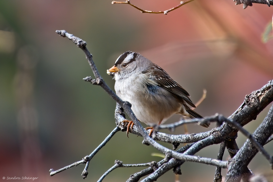 Dachsammer (White-crowned sparrow)